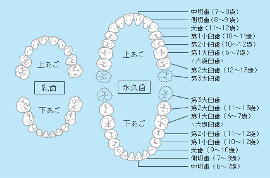 乳歯から永久歯の生え変わり
